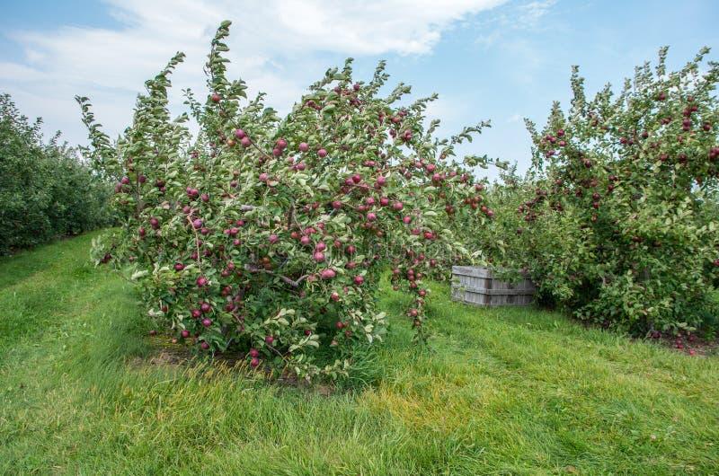 Pommes sur des arbres dans un verger image stock