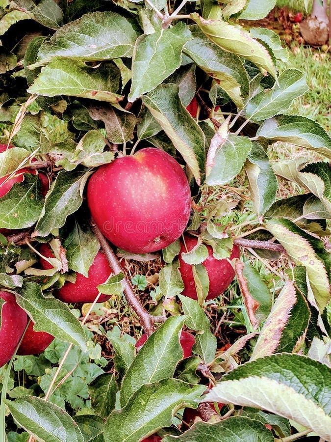 Pommes sur l'arbre image libre de droits