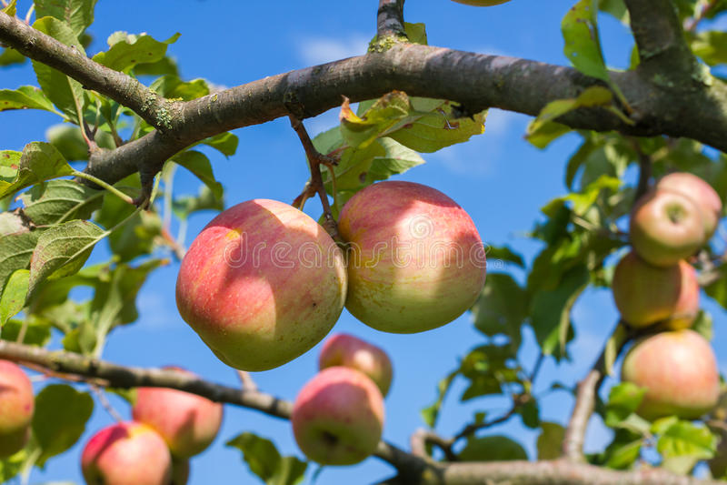 Pommes sur l'arbre images libres de droits