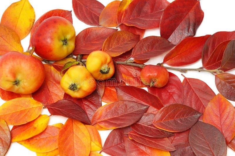 Pommes sur la brindille avec les lames rouges image libre de droits