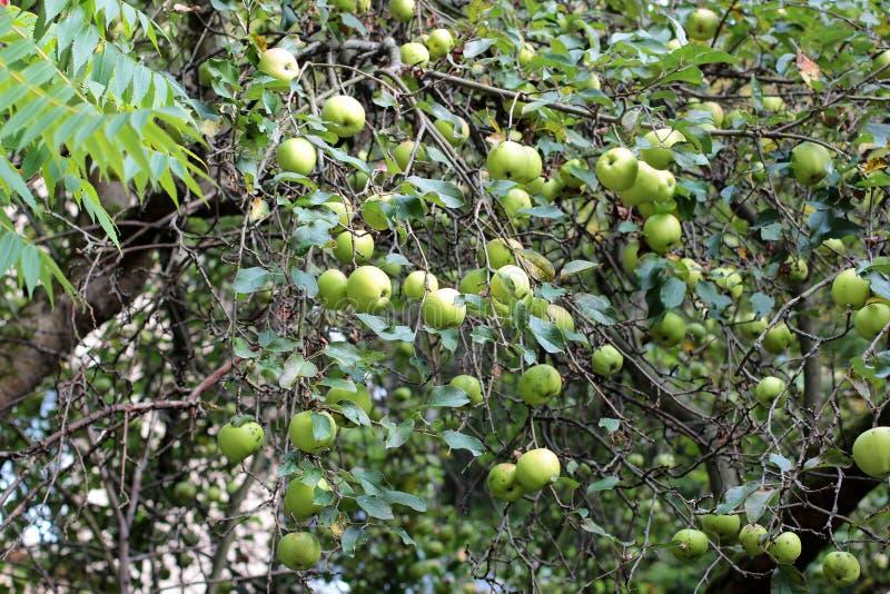 Pommes sur le pommier Pommes organiques pendant d'une branche d'arbre dans un champ de pommiers photographie stock