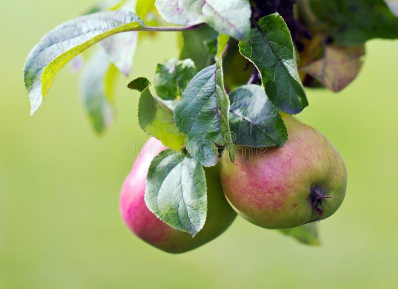 Pommes sur un arbre photos stock