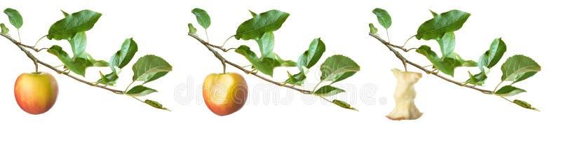 Pommes sur un branchement images libres de droits