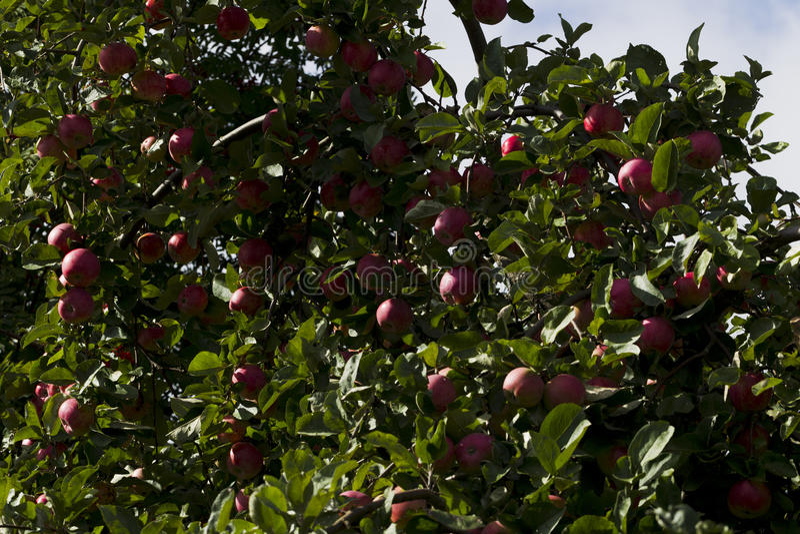 Pommes sur une branche d'arbre sur un fond de feuillage vert photographie stock libre de droits