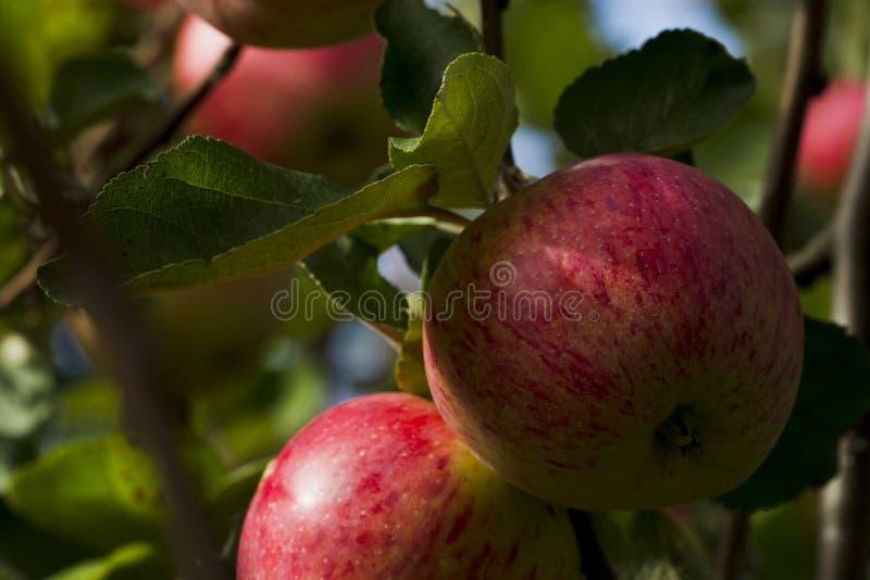 Pommes sur une branche d'arbre sur un fond de feuillage vert photo stock