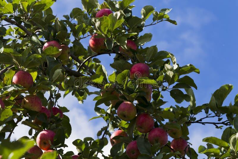 Pommes sur une branche d'arbre sur un fond de feuillage vert images libres de droits