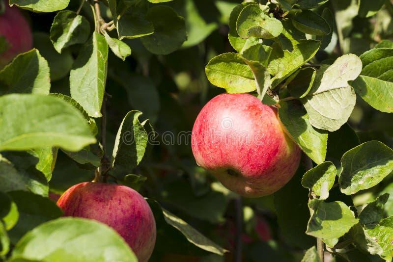 Pommes sur une branche d'arbre sur un fond de feuillage vert image stock
