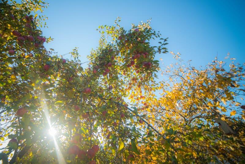 Pommes sur une poutre d'arbre et de soleil photo stock
