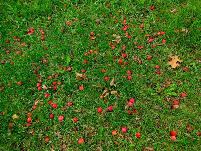 Pommes tombées au sol photographie stock libre de droits