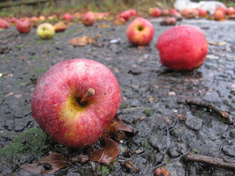Pommes tombées sur la route humide photographie stock