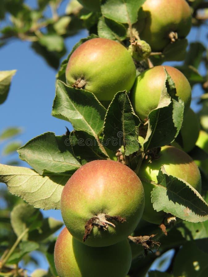 Pommes vertes organiques mûrissant juste en soleil dur de ressort photos stock