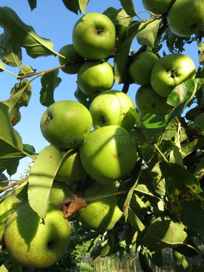 Pommes vertes prêtes pour la sélection photographie stock libre de droits