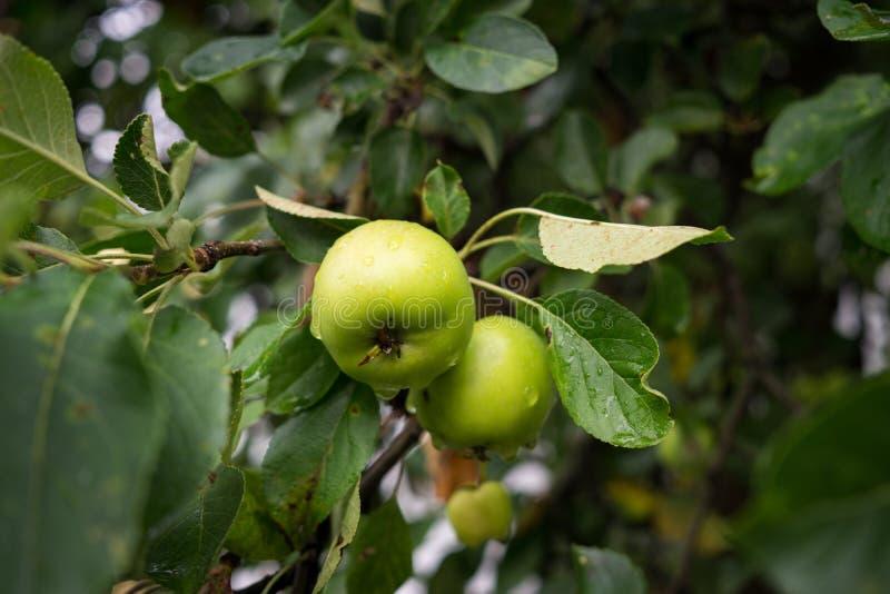 Pommes vertes sur l'arbre slovakia photos libres de droits