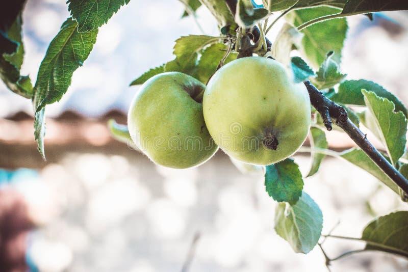 Pommes vertes sur une branche images libres de droits