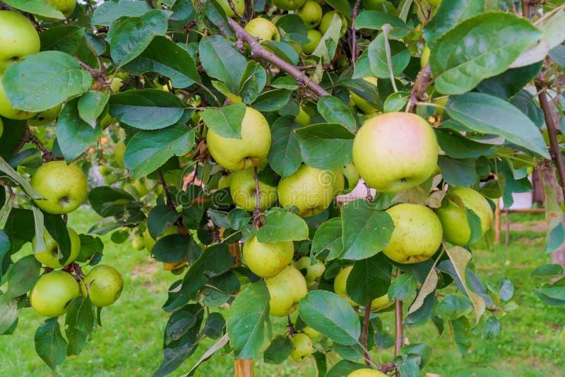 Pommes vertes sur une branche d'un pommier photos stock