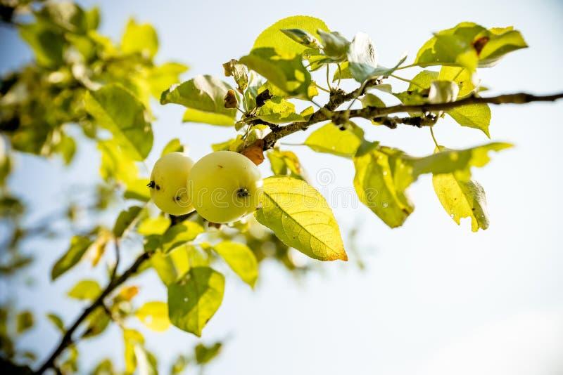 Pommes vertes sur une branche prête à être moissonné, jardin, foyer sélectif branche de pommier avec des feuilles Moissonnez, mûr photographie stock