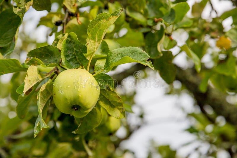 Pommes vertes sur une branche pr?te ? ?tre moissonn? Pomme savoureuse mûre sur l'arbre dans le jour d'été ensoleillé Sélectionnez photo libre de droits