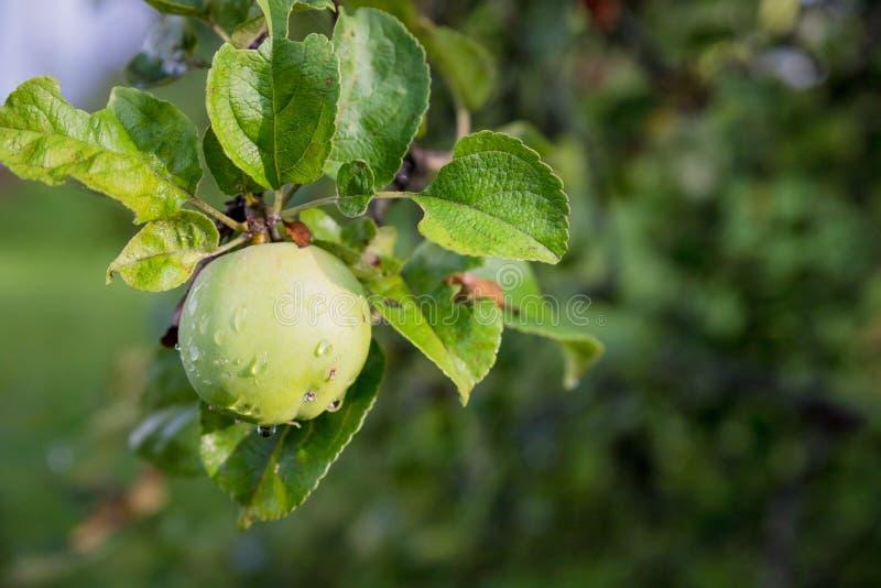 Pommes vertes sur une branche pr?te ? ?tre moissonn? Pomme savoureuse mûre sur l'arbre dans le jour d'été ensoleillé Sélectionnez images libres de droits