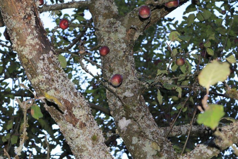 Pommier avec quelques pommes rouges et infestation fongique sur le tronc image stock