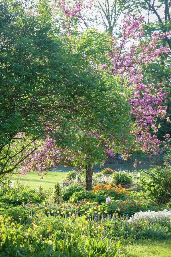 Pommier décoratif de floraison évident avec les fleurs roses images libres de droits