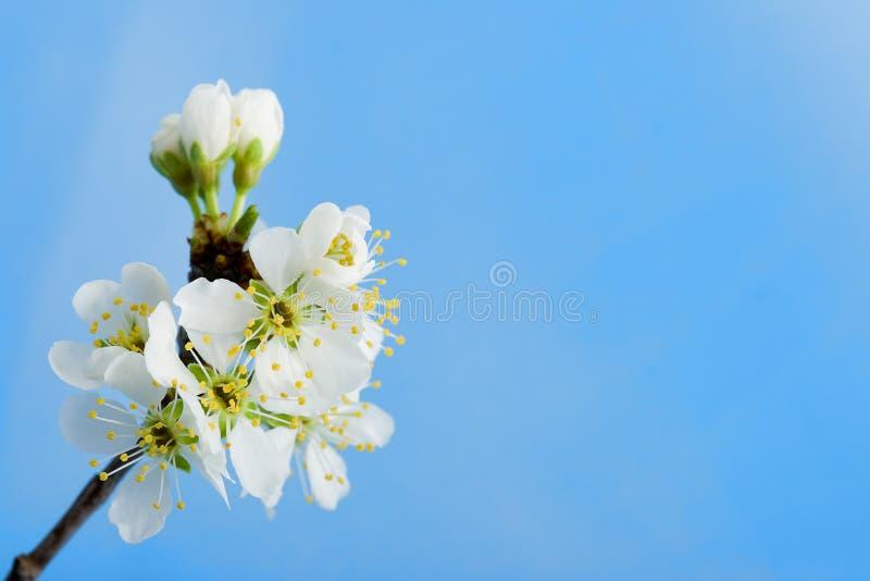 Pommier de fleur au-dessus du bleu photo stock