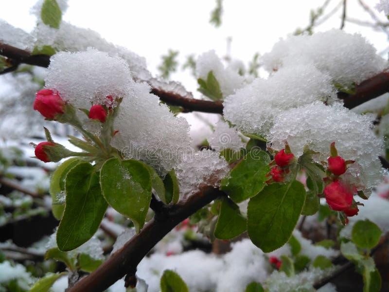Pommier de floraison après un saupoudrage de neige photographie stock libre de droits