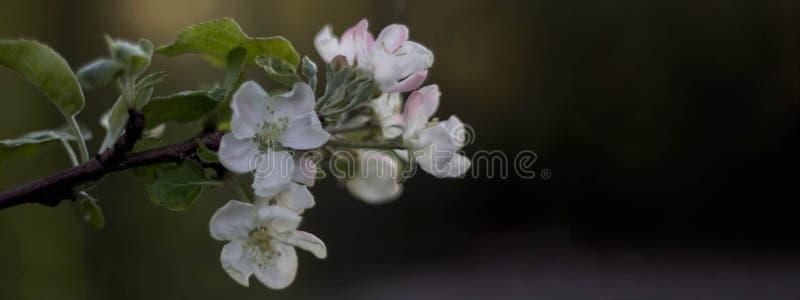 Pommier de floraison dans des couleurs en pastel photos stock