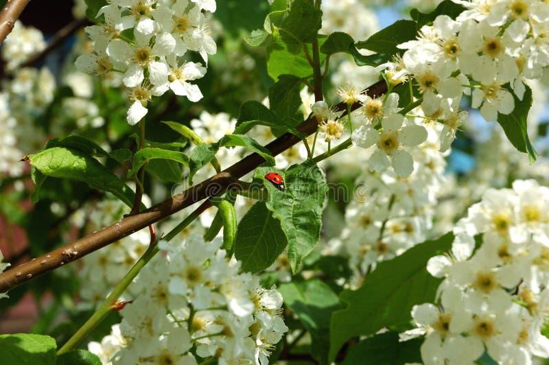 Pommier de floraison dans le printemps tôt images libres de droits