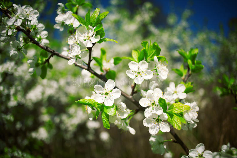 Pommier de floraison de belle source image stock