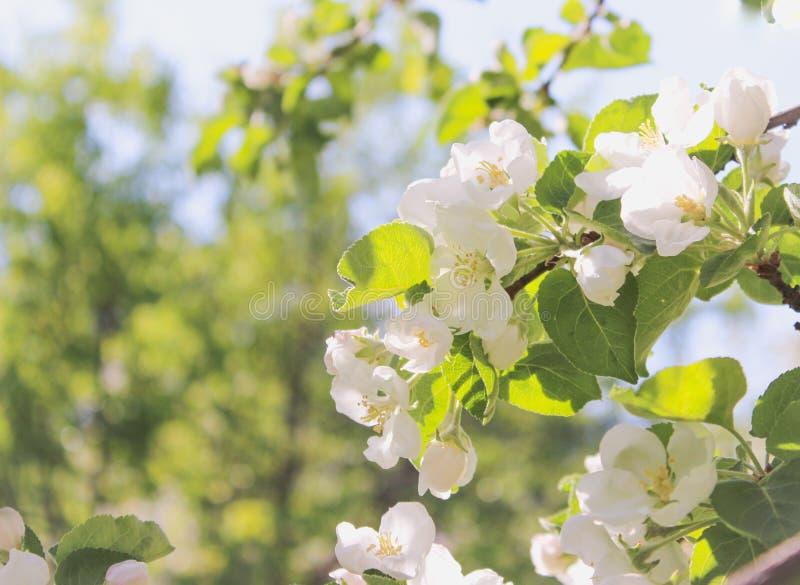 Pommier de floraison, fleurs blanches image libre de droits