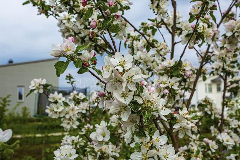 Pommier de floraison de rose et blanc magnifique sur le fond Beaux milieux de nature photos libres de droits