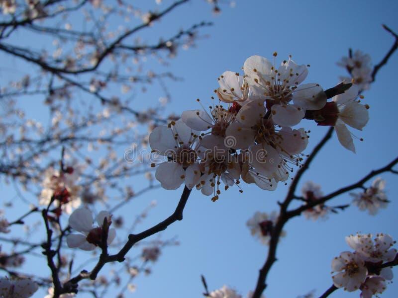 Pommier En fleur image libre de droits