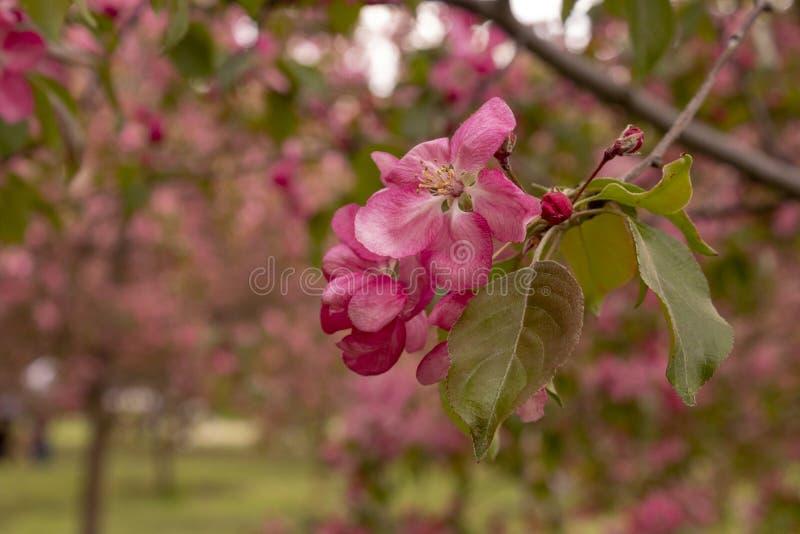 Pommier en fleur blanche avec les fleurs roses images libres de droits