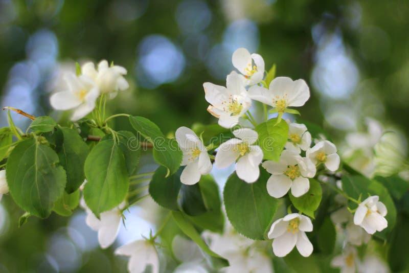 Pommier fleurissant au printemps dans le jardin, avec les feuilles vertes, plan rapproché, avec le backgrou brouillé buisson photo stock