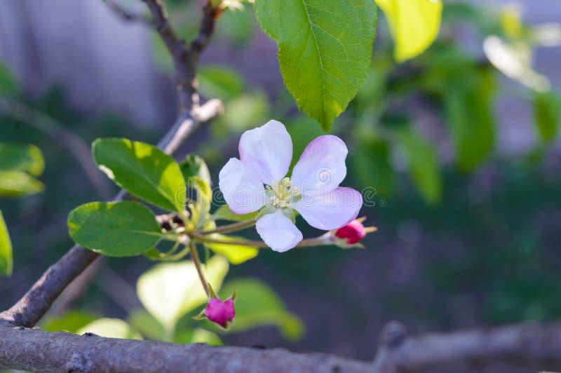 Pommier sensible de fleur avec des bourgeons sur une branche parmi des feuilles Plan rapproché image libre de droits