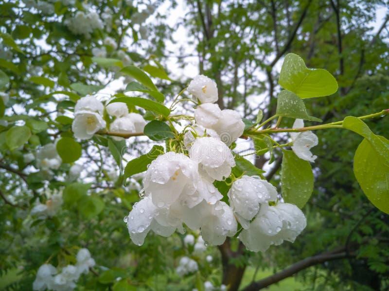 Pommiers de floraison de blanc photographie stock