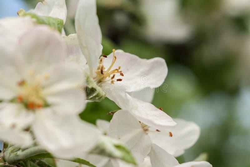 Pommiers de floraison Ressort photographie stock libre de droits