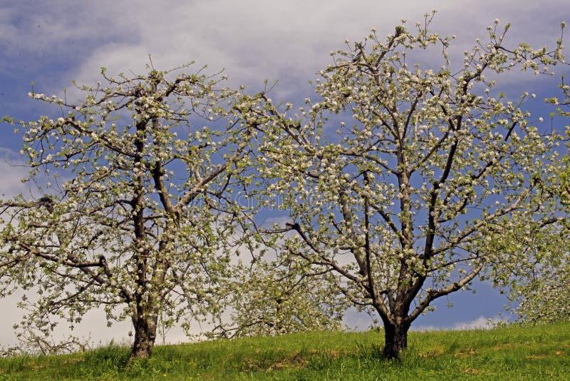 Pommiers en fleur sous un ciel bleu. photographie stock libre de droits