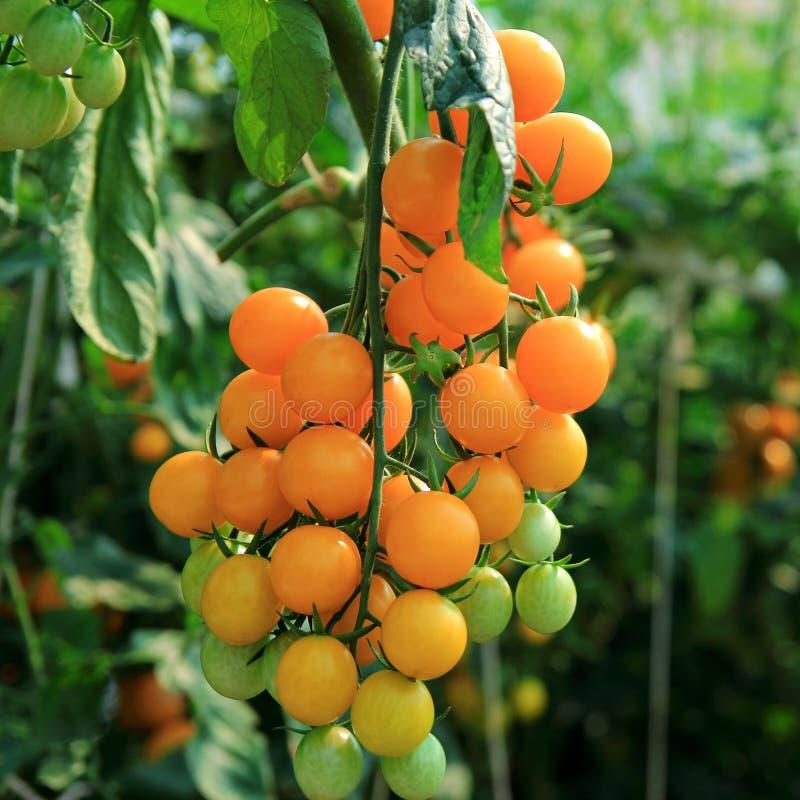 Pomodori arancioni fotografie stock