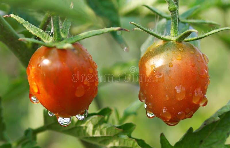 Pomodori bagnati maturi sulla pianta fotografia stock