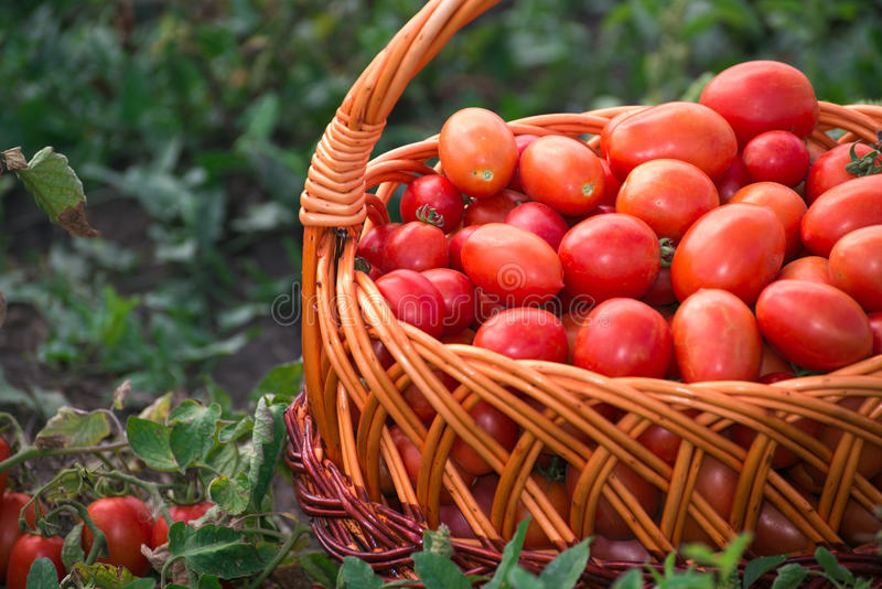 Pomodori in canestro di vimini sul campo fotografia stock libera da diritti
