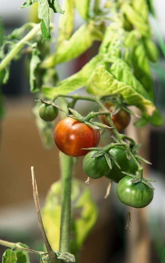 Pomodori crescenti a casa fotografie stock libere da diritti