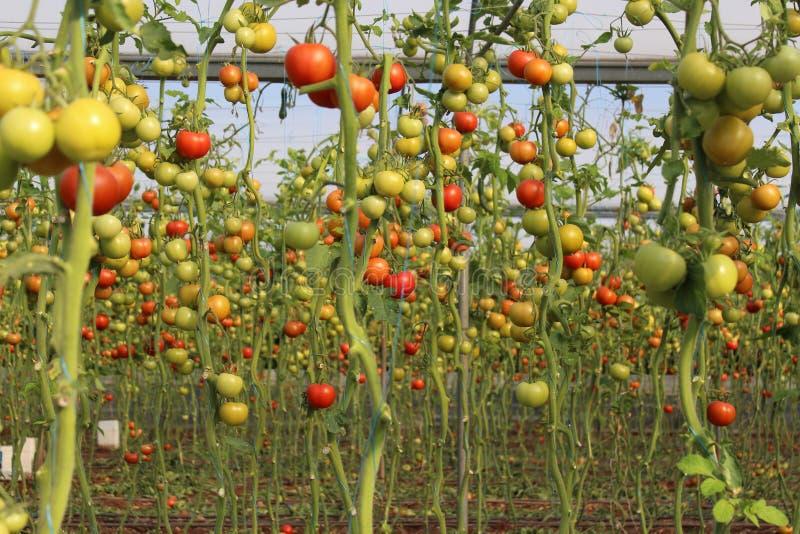 Pomodori crescenti in serra fotografia stock