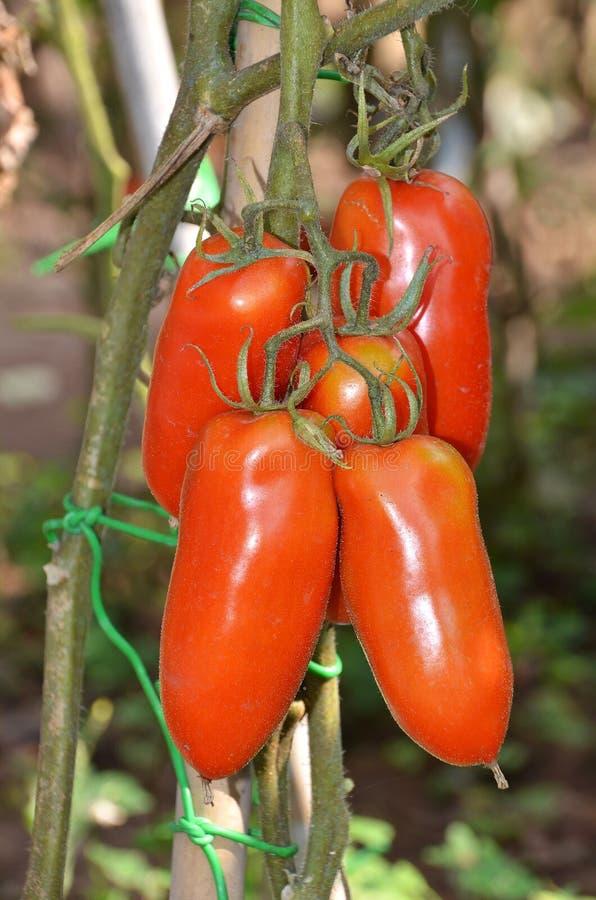 Pomodori del San Marzano immagini stock