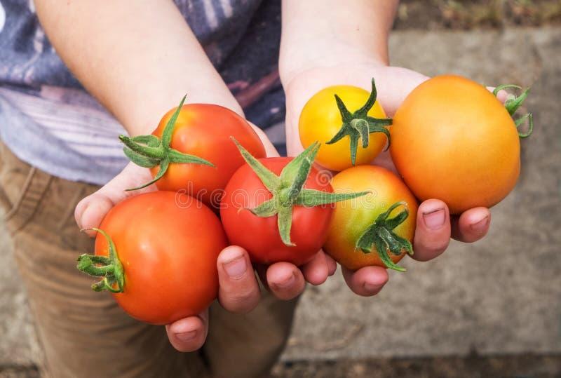 Pomodori di estate immagine stock