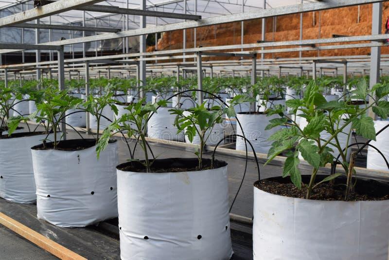 Pomodori di piantina nel vaso separato per irrigazione a for Sistemi di irrigazione a goccia per vasi
