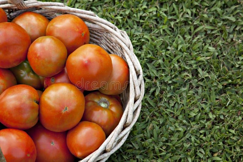 Pomodori freschi in cestino fotografie stock libere da diritti