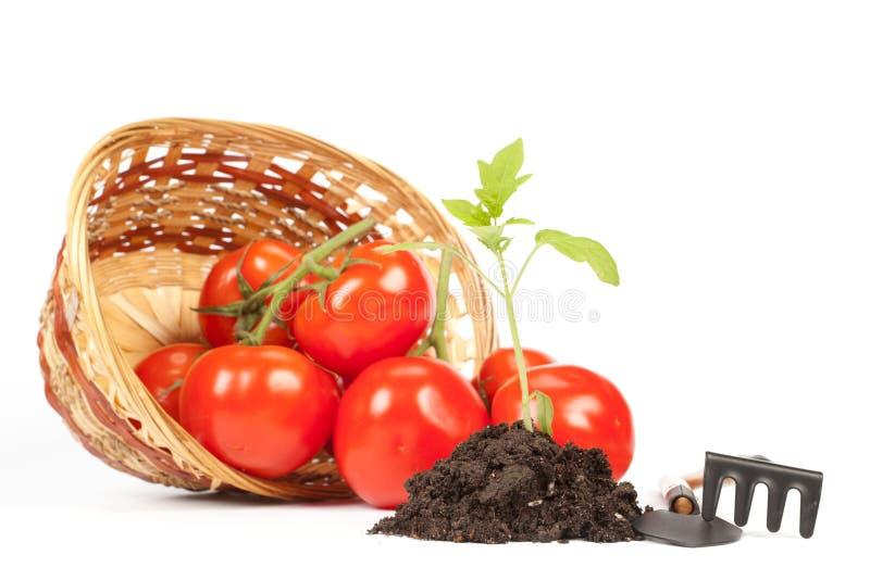 Pomodori freschi. Concetto della raccolta. immagine stock libera da diritti