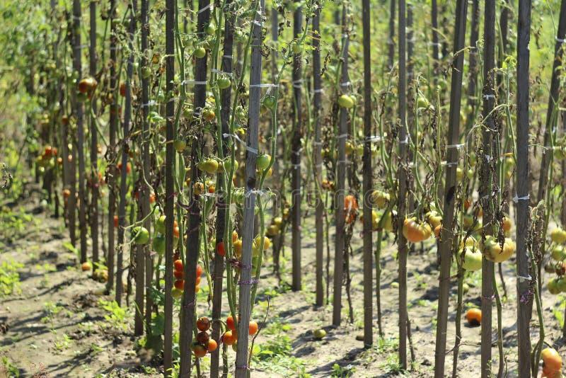 Pomodori malati nel giardino, le verdure infettate con ruggine recente immagine stock