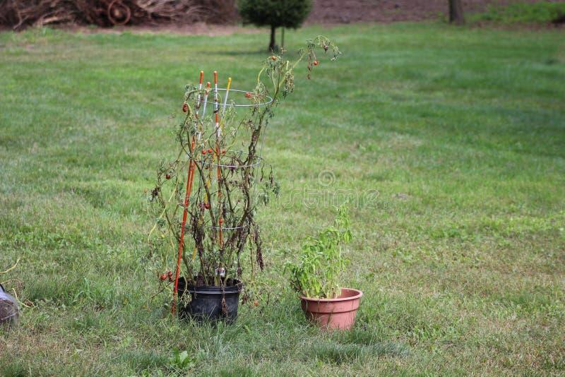 Pomodori malati nel giardino, le verdure infettate con ruggine recente, una ruggine sul raccolto immagini stock libere da diritti